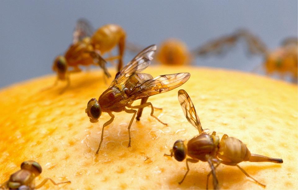 hausmittel-bei-fruchtfliegen