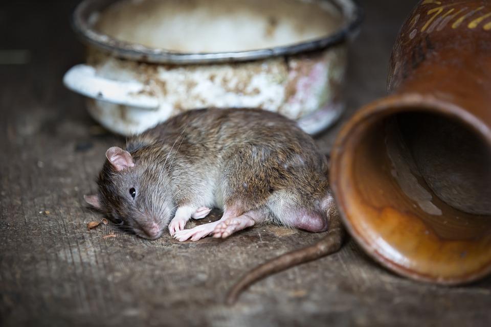 Hausmittel Gegen Ratten Zum Vertreiben Mamas Hausmittel